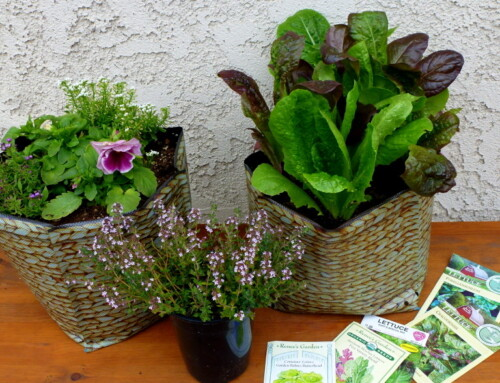 Growing Lettuces and Salad Greens