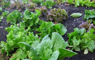Crop rotation reduces pests and diseases on crops like these lettuces.