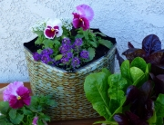 Pansies and sweet alyssum grow in a Hula Planter. Mixed romaine lettuce are nearby.