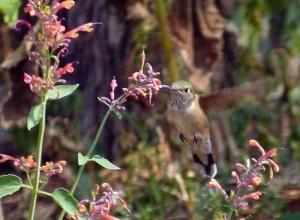 Grow hyssop to attract wild birds to garden.