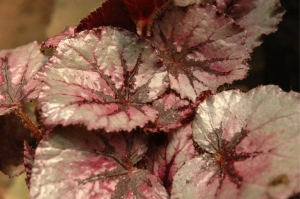 Prepping houseplants for winter, including this rex begonia marion louise.