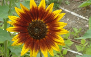 A sunflower grows in a LEAF garden.