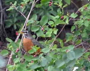 To attract wild birds to garden, plant serviceberry.
