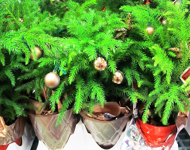Norfolk Island Pines are Easy Care Houseplants Sanctuary Soil