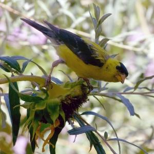Sunflowers attract wild birds to garden.