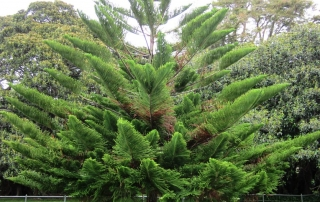 A Norfolk island pine growing outdoors.