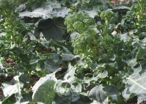Broccoli problems can be reduced with crop rotation.