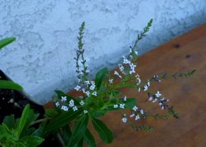 Lemon verbena flowers are edible.