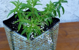 Lemon verbena growing in a Hula planter