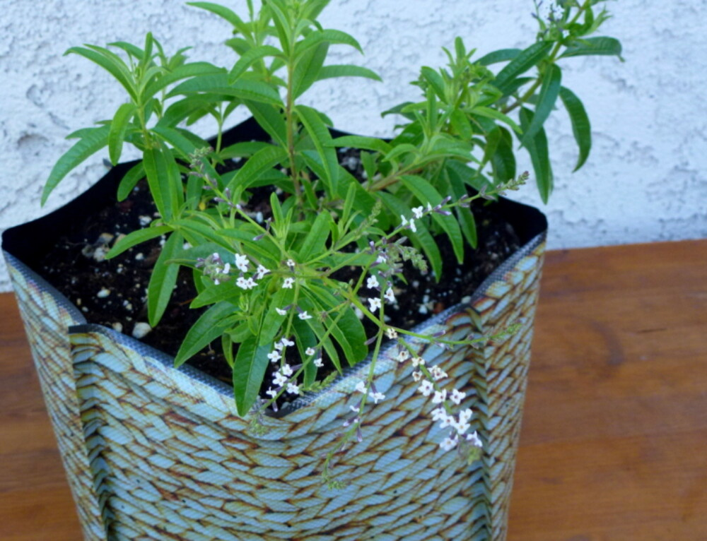 Lemon Verbena for Your Garden