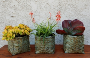 Three succulents are part of the exotic plants in Hula containers.