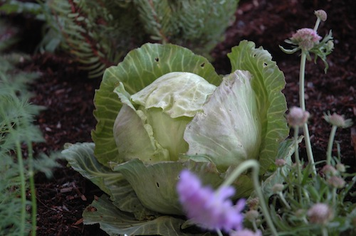 Veggie gardening in mild climates allows you to grow cabbage in winter.
