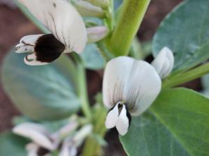 fava bean blossom