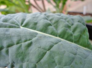 'Lacinato' kale has a pleasant taste.
