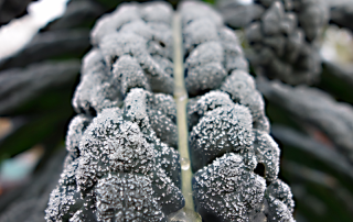 Frost-kissed kale grows in this Seattle garden.