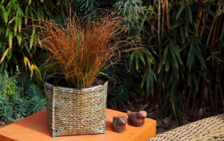 Carex testacea is one of the exotic plants in a Hula Perfect Planter