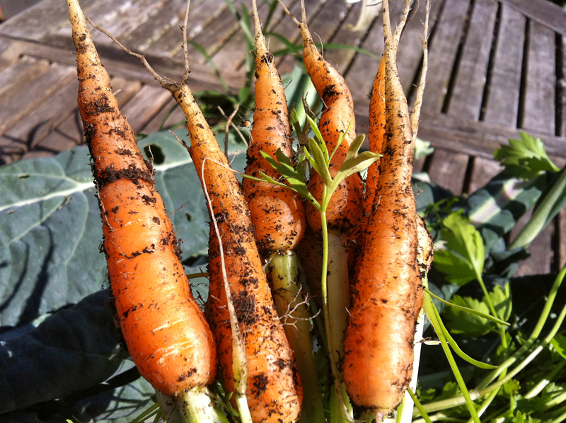 Carrots straight from the garden.