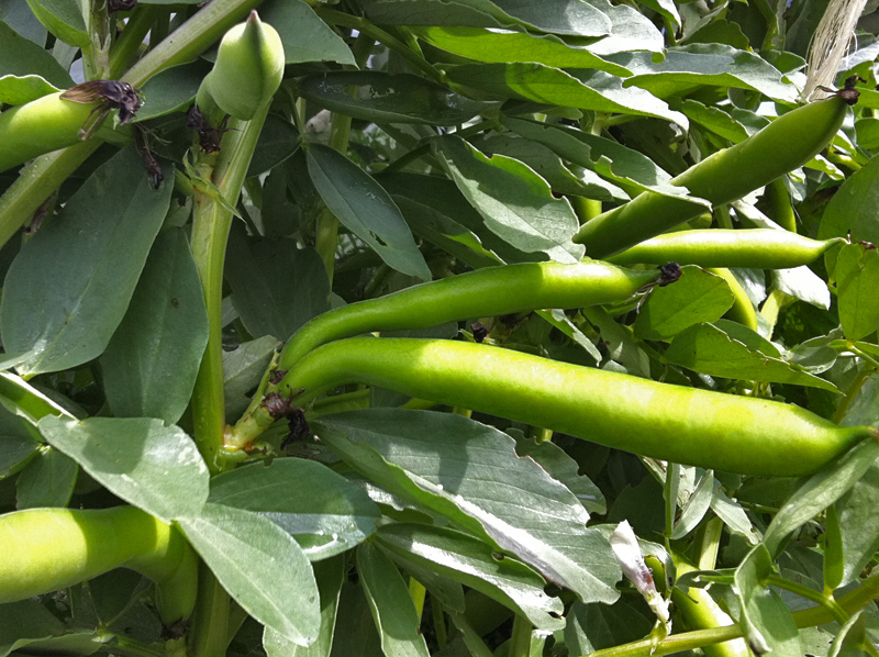 Fava Beans ready to harvest in garden