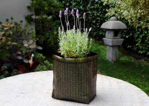 Lavender isn't what people would consider among the exotic plants, but it is thriving in this Hula planter.