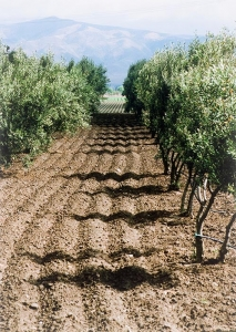 Mission olive oil comes from heritage olive trees.