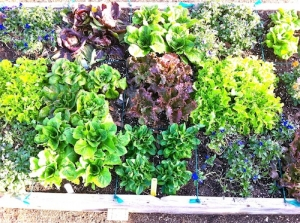 Veggie gardening in mild climates, such as these cool-season lettuces.