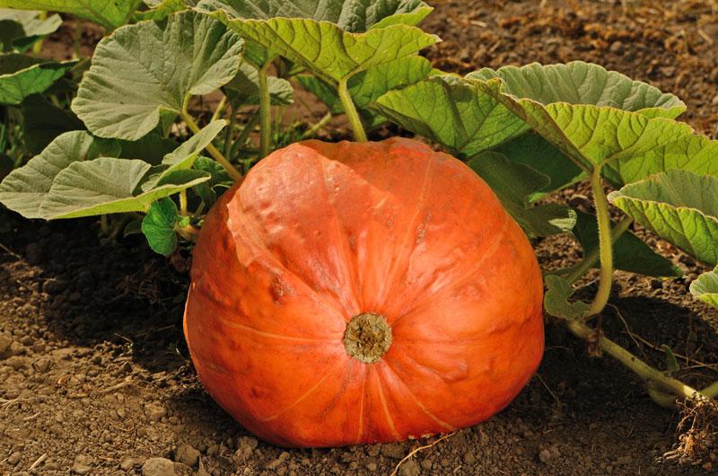 growing pumpkins - Growing Halloween Pumpkins
