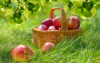Apples in a basket for the picking.