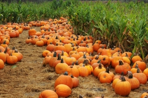You'll find lots of pumpkins around Halloween at farmers' markets, farm stands and grocery stores.