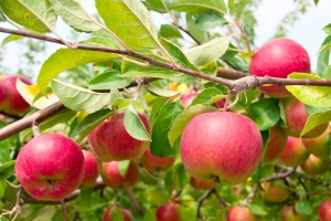 Growing apples without chemicals is easier with this expert advice.