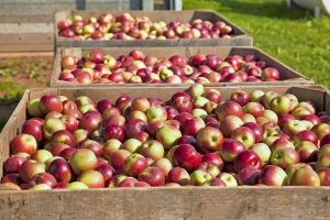 Fresh picked apples can be found at farmers markets, farm stands and local grocery stores.