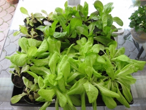 Lettuce seedlings grow healthy, without signs of damping off disease