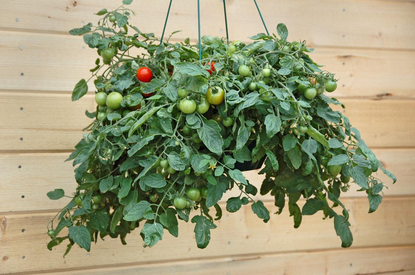 Tumbling Tom Tomatoes