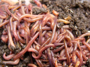 Red Wiggler Earthworms