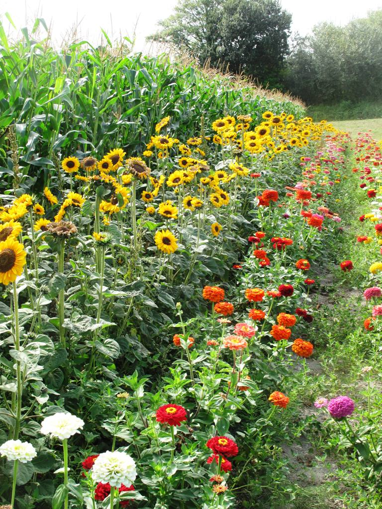 Make an attractive border for vegetable plots using beneficial flowers such as sunflowers and Nasturtiums.